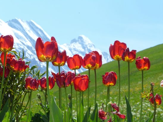 Tulips in Bernese Oberland