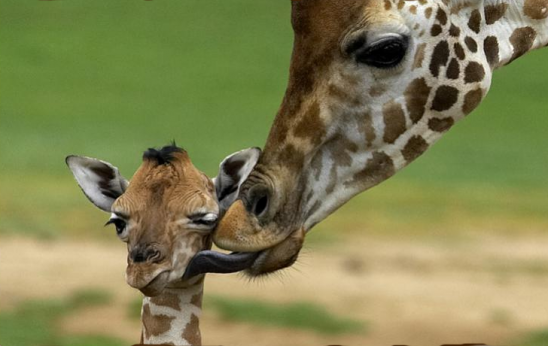 giraffe mum